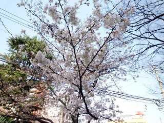 Sakura_imaizumi
