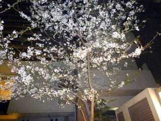Sakura100328